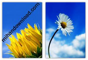 20 Flower Wallpaper 240x320 مجموعه 20 تصویر زمینه گل برای موبایل